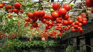 hydroponic-tomato-and-drug-raid